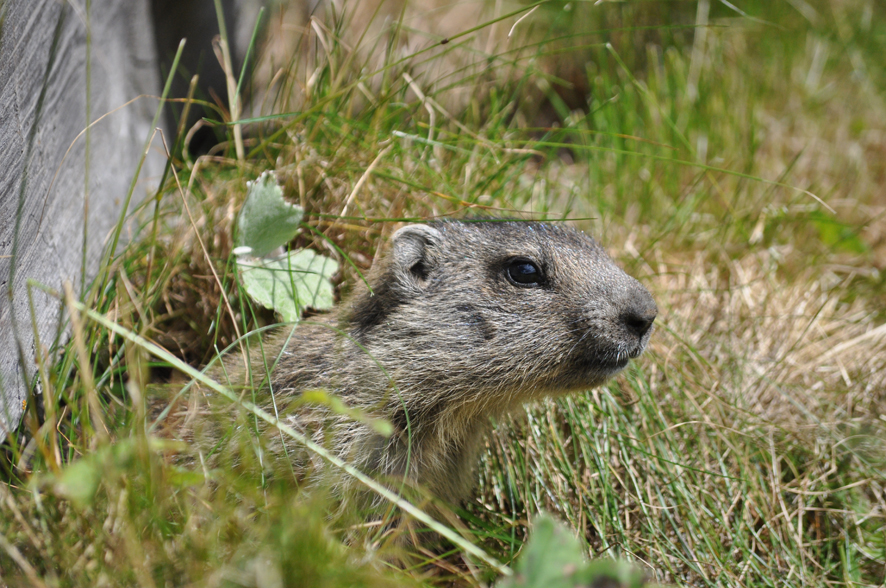 Una marmotta curiosa e... vanitosa!