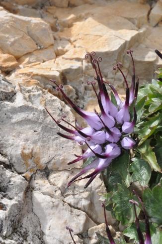 """Raponzolo chiomoso (noto anche come """"artiglio del diavolo"""") tra le fenditure di roccia dello Stevia (Val Gardena)"""