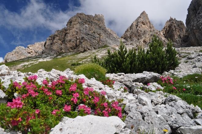 Rododendri sopra il Passo Gardena
